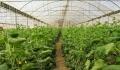 کشت گلخانهای راهبردی موثر برای توسعه کشاورزی قم