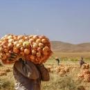 تصاویر برداشت پیاز از مزارع استان چهارمحال و بختیاری