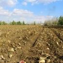 تصاویر آغاز برداشت چغندر قند از مزارع اردبیل