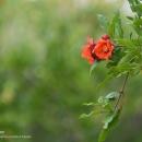 تصاویر برداشت انار از باغات شهرضا