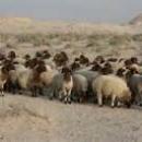 کشف 110 راس گوسفند قاچاق در - سربیشه  -