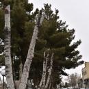 تصاویر هرس نامتعارف درختان در شاهرود