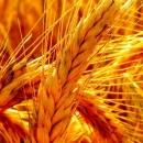 1.7 میلیون تن گندم مازاد برنیاز کشاورزان خریداری شد