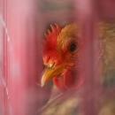 اثری از آنفلوآنزای مرغی درقم مشاهده نشدهاست
