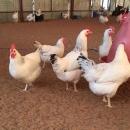معاون جهاد کشاورزی: ۳۱۰ واحد مرغداری گوشتی در قم فعال است