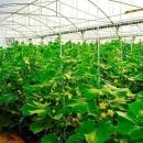 استقبال کشاورزان قمی از کشتهای گلخانهای رو به افزایش است