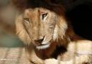 تصاویر سوء تغذیه شیرها در باغ وحش سودان