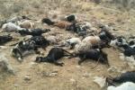 پساب های پتروشیمی 112 راس گوسفند را به کام مرگ فرستاد