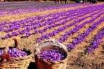 اجرای طرح تولید مبتنی بر قرارداد برای 10 هزار کشاورز -  زعفران ایران به نام اسپانیا به 40 کشور صادر میشود