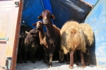 کشف 600 راس گوسفند قاچاق در اقليد