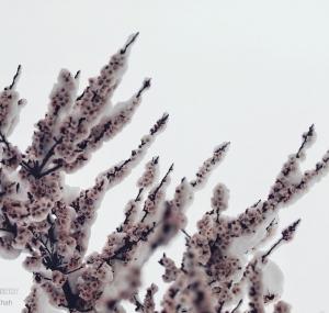 تصاویر بهار برفی همدان