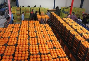 تامین 700 تن پرتقال برای میوه شب عید مردم قم